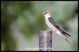 Greater Striped Swallow bringing mud to build its nest on the veranda of Thendele's unit 27