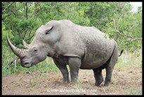 White Rhino Territorial Demarcation