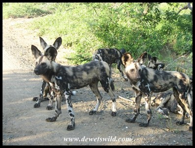 Wild Dog pups waiting for the adults to return