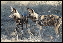 Wild Dog alpha pair