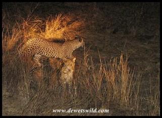 Sub-adult leopard cubs