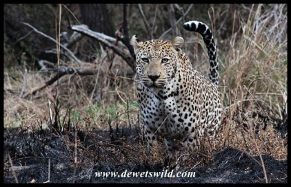 Leopard on the Maroela Loop, near Skukuza in the Kruger Park