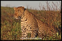 Leopard in golden early morning sunshine