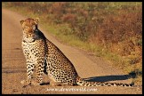 Leopard in golden early morning sunshine