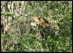 Leopard camouflage in a thicket