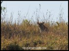 Leopard hiding in long grass