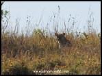 Leopard hiding in long grass