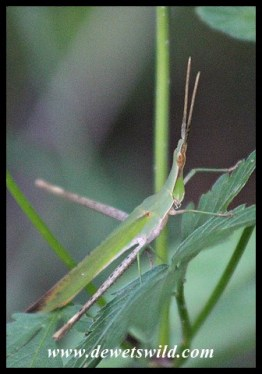 Common Stick Grasshopper camouflage