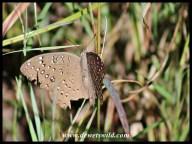 Guinea-fowl Butterfly