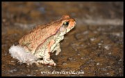 Red Toad at the Waterfall Safari Lodge