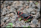 Poisonous Koppie Foam Grasshopper