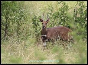 Bushbuck ram