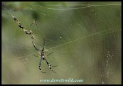 Golden Orb Web Spider - the female is considerably larger than the male