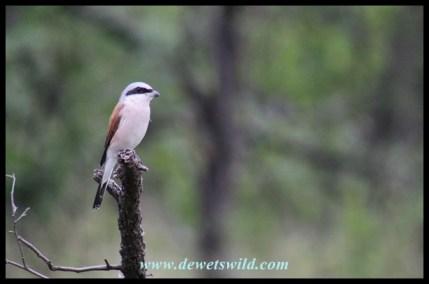 Male Red-backed Shrike