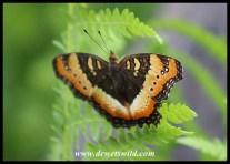 Garden Commodore (wet season colouration)