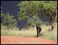 Waterbuck ewe