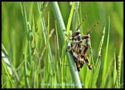 Elegant Grasshopper nymphs