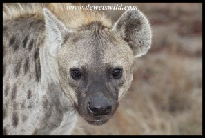 Spotted hyena close up