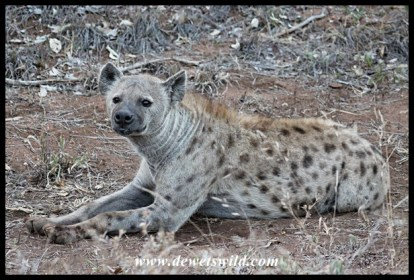 Spotted Hyena Matriarch