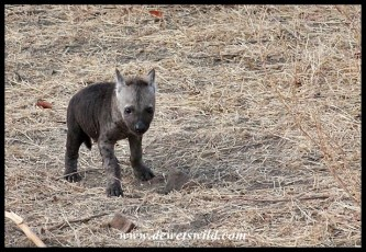 Spotted Hyena cubs are black at birth