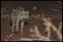Spotted Hyena in the spotlight