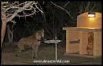 Spotted Hyena attending a barbeque in Mpila Camp