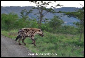 Spotted Hyena on the run