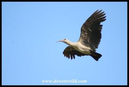 Hadeda in flight over Pretoria