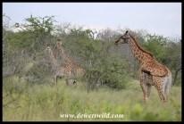 Giraffe cousins