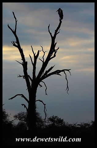 Marabou roost at sunset