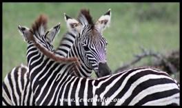 Zebra foals mutual grooming