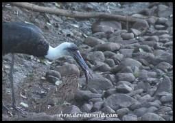 Woolly-necked Stork Buffet at uMkhuze