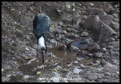Woolly-necked Stork Buffet at uMkhuze