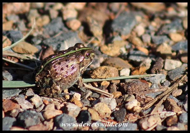 Juvenile Edible (Lesser) Bullfrog