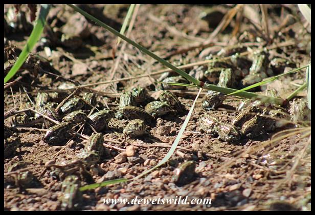 "Juvenile Edible (Lesser) Bullfrog ""swarm"""