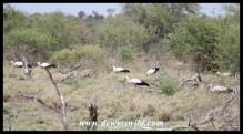 White Stork flock