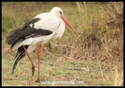 White Stork (injured)
