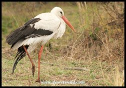 White Stork (injured)