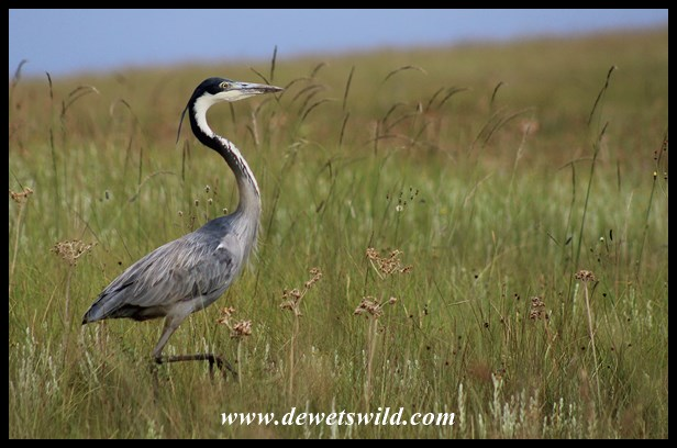 Black headed heron - photo#10