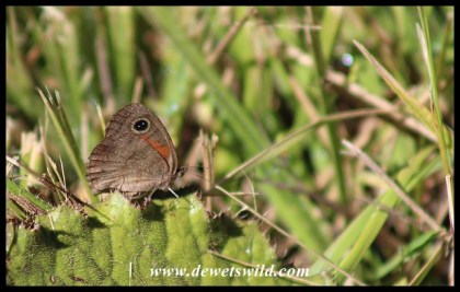 African Ringlet