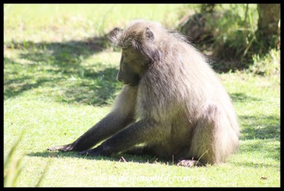 Bold baboons frequent the camp at Giant's Castle