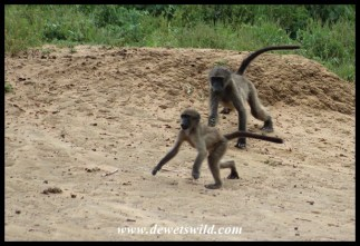 Playful baboons at Kumasinga