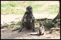 Like father, like son. Baboon spectators at Kumasinga