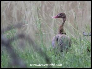 Spur-winged Goose (female)