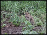 Well camouflaged Water Thick-knee