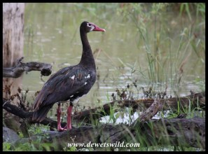 Spur-winged Goose (male)