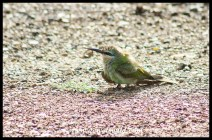 Immature European Bee-Eater