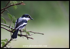 Chinspot Batis (male)