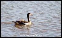 Egyptian Goose at Nsumo Pan