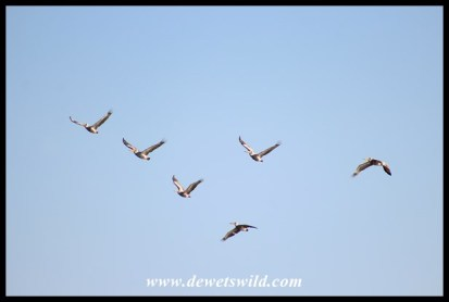 Pink-backed Pelicans in flight over Nsumo Pan